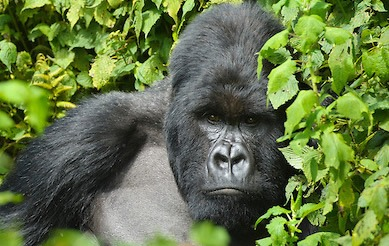 4 days gorilla wildlife Self drive safari in Uganda