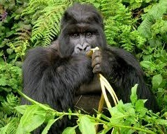 gorilla-safaris in uganda