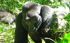 gorilla safaris and tours in rwanda