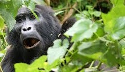 gorilla safaris and tours in uganda