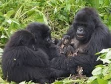 gorilla safaris and tours
