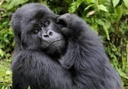 gorilla safaris in uganda and safari tours