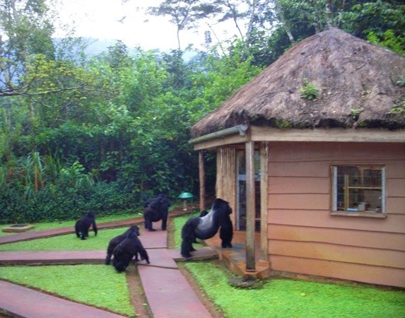 gorilla safaris in uganda image