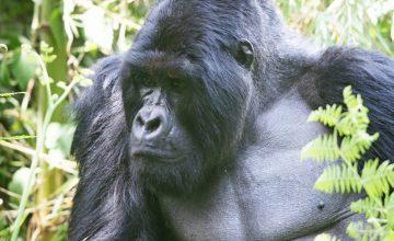 Uganda Rwanda Gorilla trekking Safari 8 days uganda tour