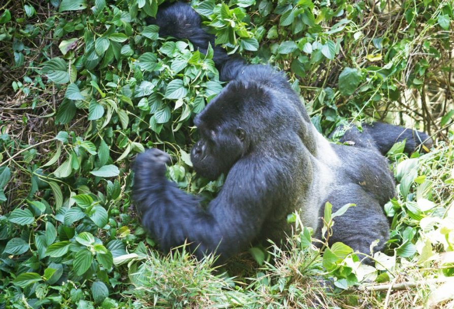 2 days Gorilla safari Uganda Bwindi Impenetrable