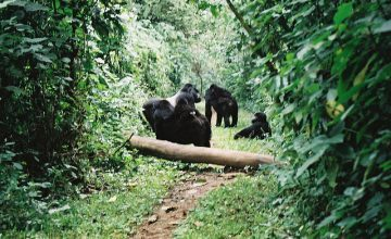 6 days Uganda Gorilla Tracking safari ugnada tour