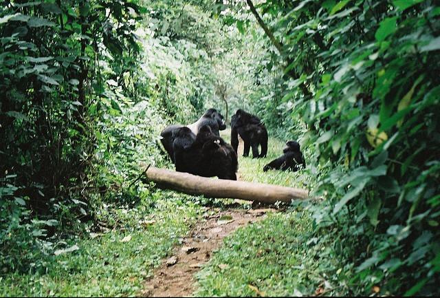 4 days Uganda gorilla trekking safari to Bwindi impenetrable national park