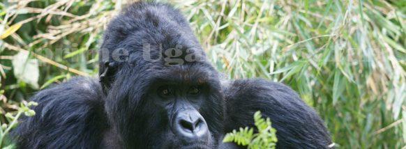 gorilla trekking in the Impenetrable Bwindi uganda safari