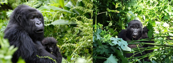 gorilla-trekking-bwindi uganda safari