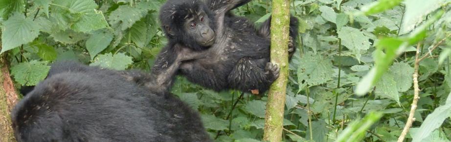 gorilla-trekking-in-uganda