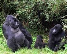 gorilla trekking safaris