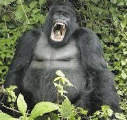 mountaiin gorilla