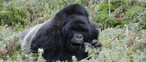 A Silver back gorilla in Bwindi