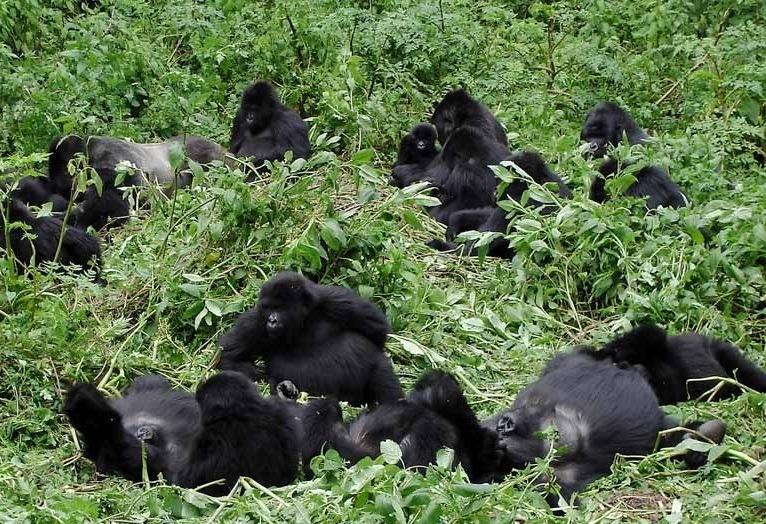 gorilla_family_uganda