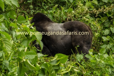 gorillas in Mgahinga