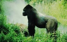 gorillas-image