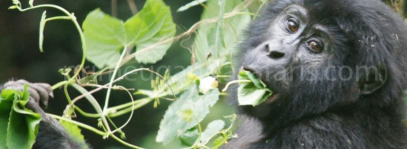 gorillas-in-bwindi
