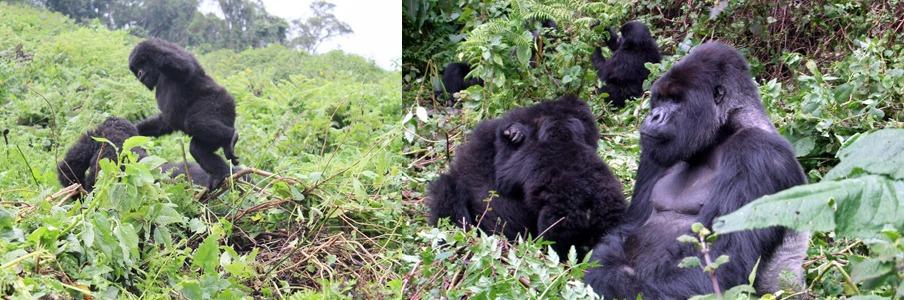 gorillas-inrwanda