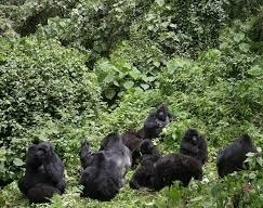 gorillas of africa