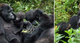 gorillas-resting-bwindi