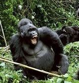 gorilla tracking in Mgahinga np