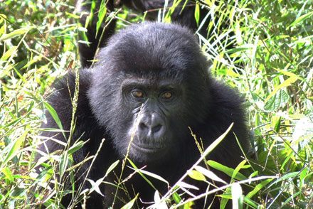 mounatain gorillas