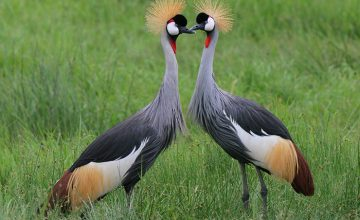 Uganda Bird watching Tour, 21 Days uganda tour