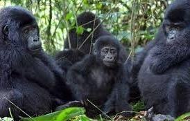 habimanya gorilla-family