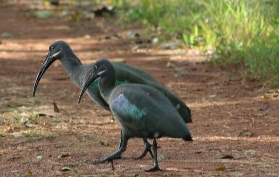 hadada-ibis-uganda-safaris-uganda-tours
