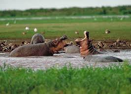hippos- uganda safari attractions