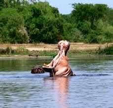 hippos -kainga channel safaris