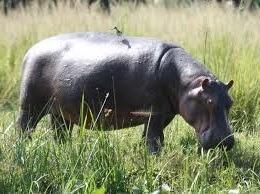 hippos- uganda safaris