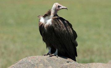Birding & Gorilla trekking Uganda Safari 14 Days hooded-vulture-uganda-birding-safaris-uganda-tours