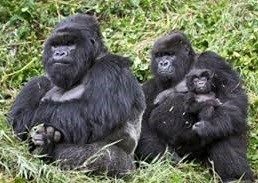 images of gorillas