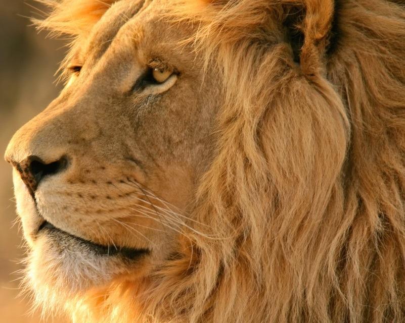 isingiro -lion