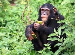 kibale -chimpanzee