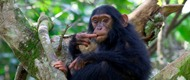 kibale-chimps-uganda-safari-tours