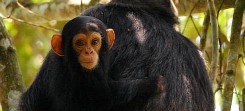 Kibale Forest National Park Uganda, Chimpanzee trekking in Kibale National Uganda