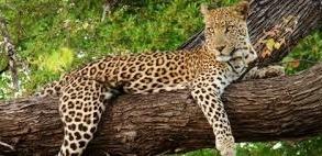 leopard-image