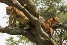 lion -image