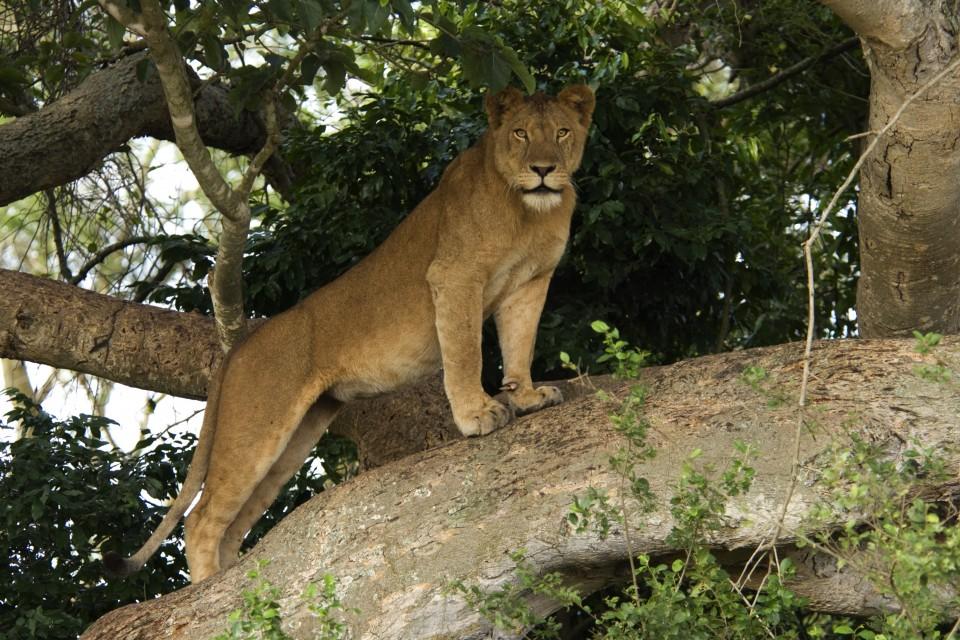lions-in-uganda