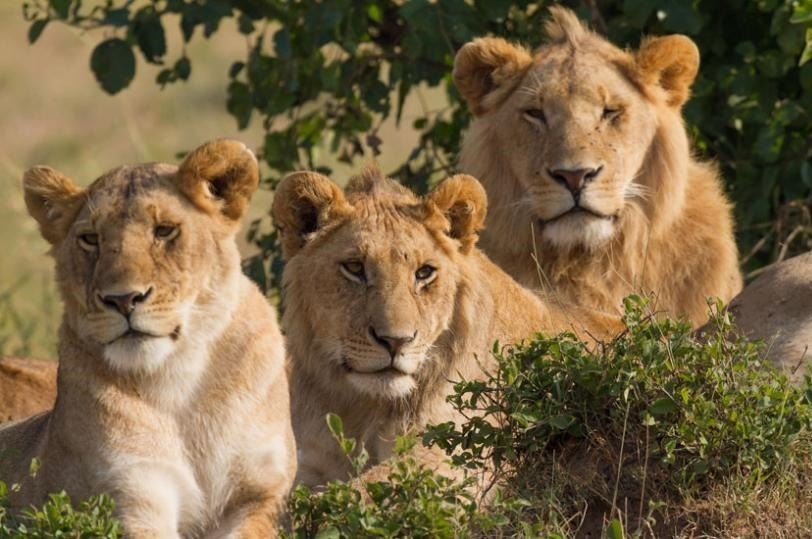 lions in akagera