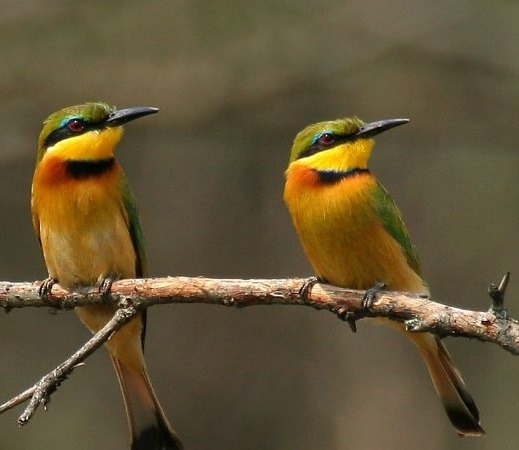 little-bee-eater-uganda-safaris-prime-safaris