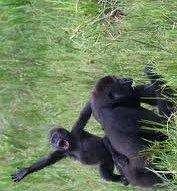 love in gorillas