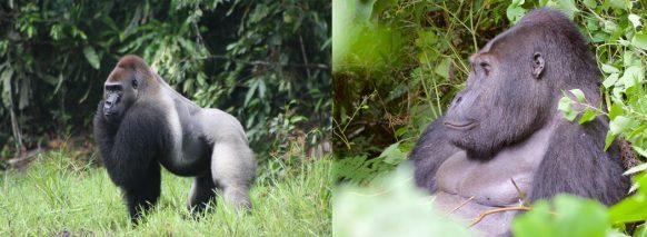 lowland-gorillas-in-kahuzi-beiga-np