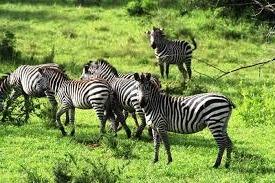 zebra lake mburo national park