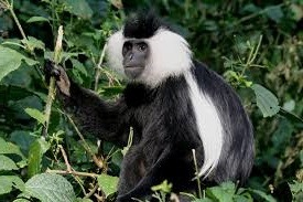 black and white colobus monkey - nyungwe forest np