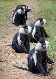 monkeys in rwanda