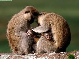monkeys-primate safaris rwanda