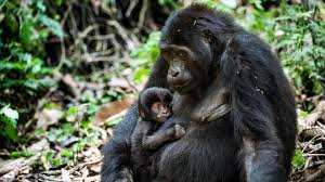 mountain-gorilla-safaris-gorilla-safaris-in-uganda